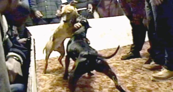 A crueldade das rinhas: elas existem sim em São Luís