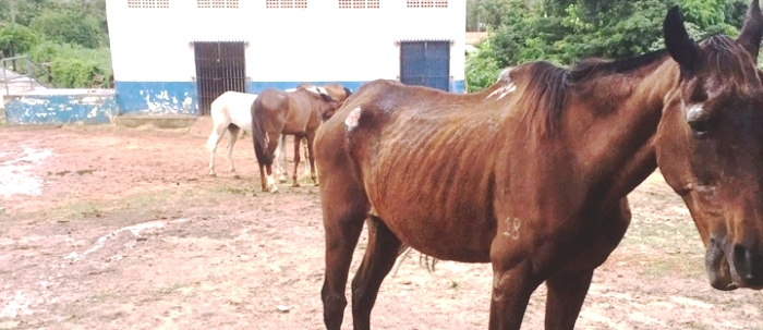 A imagens mostram cavalos magricelos e sem força alguma