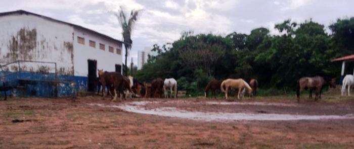 Animais pastam no pátio seco à procura de comida, já que falta ração