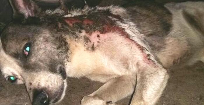 O animal ferido, abatido pela violência da agressão